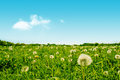 Green field with fluffy dandelion flowers high resolution photo in best quality Stock Photo