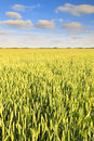 Green field with fresh and bright wheat Stock Images