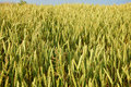 Green field of grain Royalty Free Stock Photo