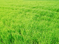 Green field photo of a Royalty Free Stock Image
