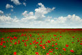 Green field with red poppies Royalty Free Stock Photography