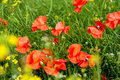 Green field with red poppies Royalty Free Stock Photo