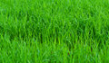 Green field rice seedlings of Royalty Free Stock Photography