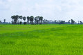 Green field rice on wallpapers and background Stock Photo