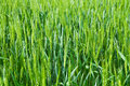 Green field of wheat Royalty Free Stock Photo