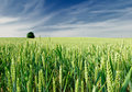 Green field of wheat Stock Image