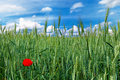 Green field of wheat with alone red wild poppy Royalty Free Stock Photography