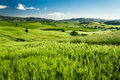 Green fields of wheat in tuscany italy Stock Image