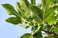 Green fig tree Royalty Free Stock Photos