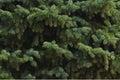 Green Fir Branches, Background