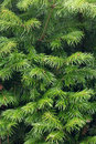 Green fir tree branches texture greem needles Stock Photography