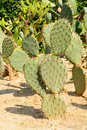 Green flat rounded cladodes of opuntia cactus botaincal garden balchik bulgaria the second largest collection in europe Stock Photos