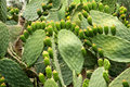 Green flat rounded cladodes of opuntia cactus with buds Royalty Free Stock Photo