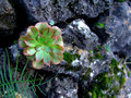 Green flower growing on a stone tenerife spain Stock Photo