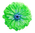 Green flower, white isolated background with clipping path. Closeup no shadows; Royalty Free Stock Photo