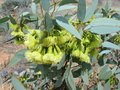 The green flowers of the pimpin mallee a flowering eucalyptus pimpiniana shrub in desert australia Royalty Free Stock Photography