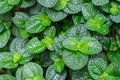 Green foliage backgound Royalty Free Stock Photo