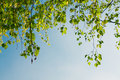 Green foliage branch and blue sky Royalty Free Stock Photography
