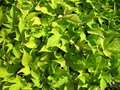 Green foliage Royalty Free Stock Photo