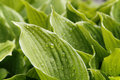 Green foliage Hosta, for background Royalty Free Stock Photo