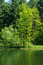 Green forest at lake in summer Stock Photo