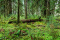 Green forest in olympic national park rain Royalty Free Stock Images