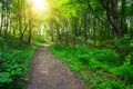 Green forest with pathway and sun light Royalty Free Stock Photo