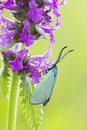Green forester moth male adscita statices Royalty Free Stock Photos