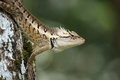 Green forrest lizard calotes emma emma Royalty Free Stock Photography