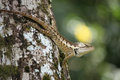 Green forrest lizard calotes emma emma Stock Photography