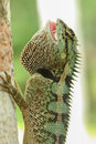 Green forrest lizard calotes emma emma Royalty Free Stock Photo