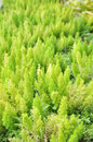 Green foxtail fern Royalty Free Stock Photo