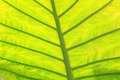 Green fresh arrowroot leaf texture closeup of Royalty Free Stock Image