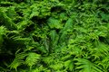 Green fresh fern plant leaves green foliage background. Natural tropical fresh green fern as concept for spring summer growth back Royalty Free Stock Photo