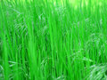Green fresh grass Royalty Free Stock Image