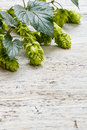 Green fresh hop border Stock Images