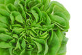 Green fresh lettuce head Royalty Free Stock Photography
