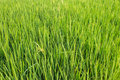 Green fresh rice fields in chiangmai thailand Royalty Free Stock Photo