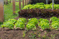 Green fresh salad leave Butter head lettuce in the row of Organi Royalty Free Stock Photo