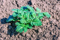 Green fresh young potato plant growing in clay soil Royalty Free Stock Photo
