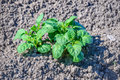 Green fresh young potato plants growing in dry clay soil Royalty Free Stock Photo