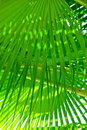 Green fringe palm leaves Stock Photography