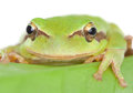 Green frog with bulging eyes golden on a leaf Royalty Free Stock Photo