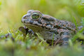 Green frog in grass in autumn with big green eyes Royalty Free Stock Photo