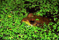 Green frog in illinois wetland rana clamitans hiding duckweed at lib conservation area Royalty Free Stock Photos