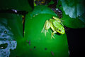 A green frog on the leave of lotus Stock Photo