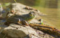 Green frog lithobates rana clamitans melanota Royalty Free Stock Photos