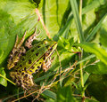 Green frog marsh pelophylax ridibundus sitting on leaves in natural habitat Stock Images
