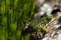 Green frog on the moss Stock Images