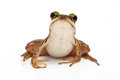 Green frog paddy on white background Stock Photography
